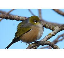 I'm sleepy! - Silvereye, Wax Eye - New Zealand Photographic Print