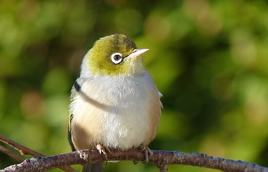Hi My name is Ted, whats your's? - Silvereye - Wax Eye - New Zealand by AndreaEL