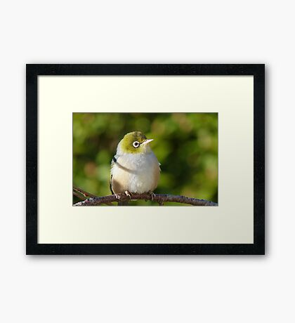 Hi My name is Ted, whats your's? - Silvereye - Wax Eye - New Zealand Framed Print