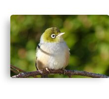 Hi My name is Ted, whats your's? - Silvereye - Wax Eye - New Zealand Canvas Print