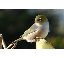 My new Hair do! Silvereye - Wax Eye - New Zealand Photographic Print