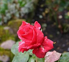 A Stirling Rose by Alyssa Beth Wyatt
