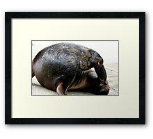 Oh that feels so, so good! - Sea Lion - Rapoka - Dunedin Framed Print