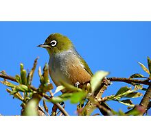 You startled me! - Silvereye - NZ - Southland Photographic Print
