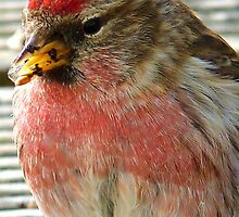 Dipped in Pink - Redpoll - NZ - Southland by AndreaEL