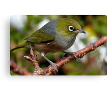 Time to Think! - Silvereye - NZ - Southland Canvas Print