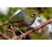 Time to Think! - Silvereye - NZ - Southland Photographic Print