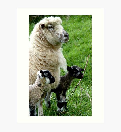 Proud Mum with Twins! - Sheep - NZ Southland Art Print