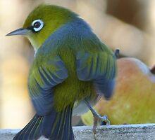 Flutter! - Silvereye - Wax Eye - New Zealand by AndreaEL