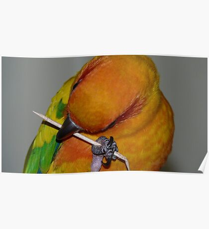 I have no teeth so I'll crush it instead! - Sun Conure - NZ ** Poster