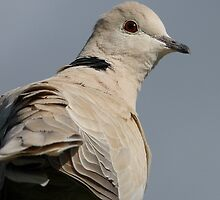 You still there? I'm leaving -  African Collared Dove - Gore - New Zealand by AndreaEL