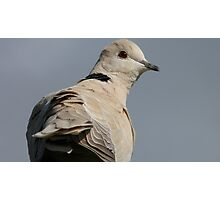 You still there? I'm leaving -  African Collared Dove - Gore - New Zealand Photographic Print