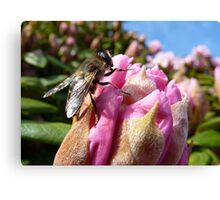 Beauty & The Beast! - Hover-fly! - Southland - New Zealand Canvas Print