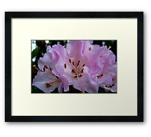 Tickled Pink! Rhododendron - Southland, New Zealand Framed Print