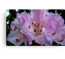 Tickled Pink! Rhododendron - Southland, New Zealand Canvas Print