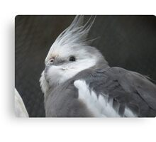 I made a wish - White faced Cockatiel - New Zealand Canvas Print