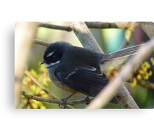 Hurry up, I have insects to catch! Fantail - New Zealand Canvas Print