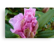 Unfolding! Rhododendron - Southland - New Zealand Canvas Print