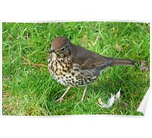 Who left these feathers! Song Thrush - New Zealand Poster