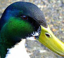 I'm back - Mallard Duck - Invercargill - New Zealand by AndreaEL