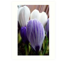 Purple Pin Stripe! - Crocus - Gore Gardens - New Zealand Art Print