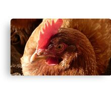 Dust bathing! - Red Shaver Hen - New Zealand Canvas Print