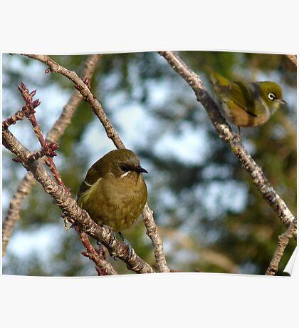 I'ts A Wonderful Life!- Bellbird - Southland - New Zealand Poster