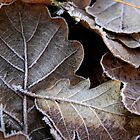 frosty oak leaves by JennySmith