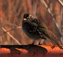 White-Crowned Sparrow by Ryan Houston