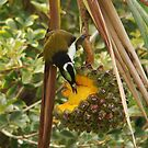 Fruit eating bird by jade77green