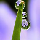 Flower Refractions in Dew Drops by Debbie Sickler