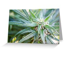 Cannabis flower and leaves  Greeting Card