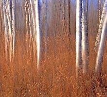 Spirit Birch by Bill Morgenstern