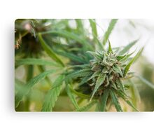 Cannabis flower and leaves  Canvas Print