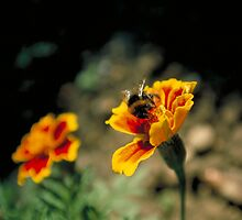 Bumblebee on Marigold by Larry149