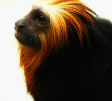 Golden Headed Lion Tamarin by James Stevens