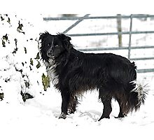 Fly the Border Collie in the snow Photographic Print
