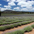 lavender farm at Nabowla by gaylene
