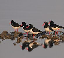 Pied Oyster Catchers. Ralphs Bay, Tasmania by David Jamrozik