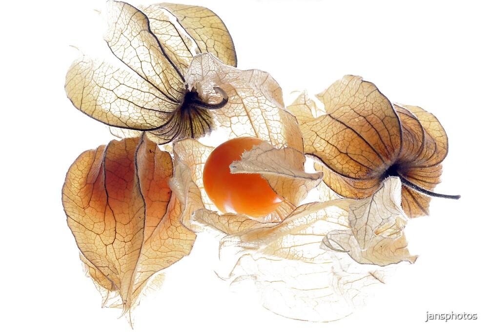 Physallis by jansphotos