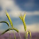 Ears of barley by jephoto