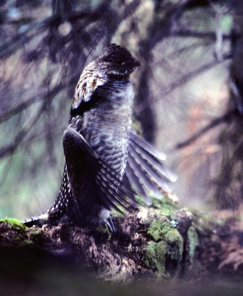 Spruce Grouse drumming  ( Near Booth Lake, Algonquin Park) by bertspix