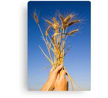 Ripe wheat stalks on a blue sky background  Canvas Print