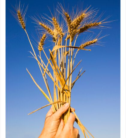 Ripe wheat stalks on a blue sky background  Sticker