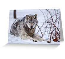Timberwolf in Winter Greeting Card