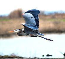 Great Blue Heron by Lenny La Rue, IPA