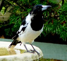 BUTCHER BIRD.... KING OF ALL WHISTLERS... by Ekascam