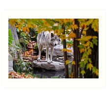 Timber Wolf by Pond Art Print