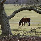 New Forest Pony by John Thurgood