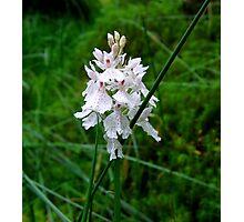 Scottish Orchid (Dactylorhiza maculata) Photographic Print